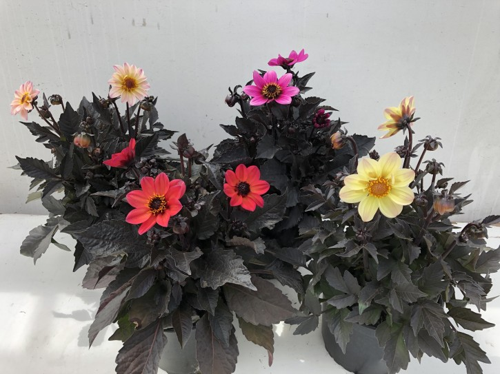 Dahlia-Hybriden 'Happy Days' T 19 MIX (dunkellaubig)