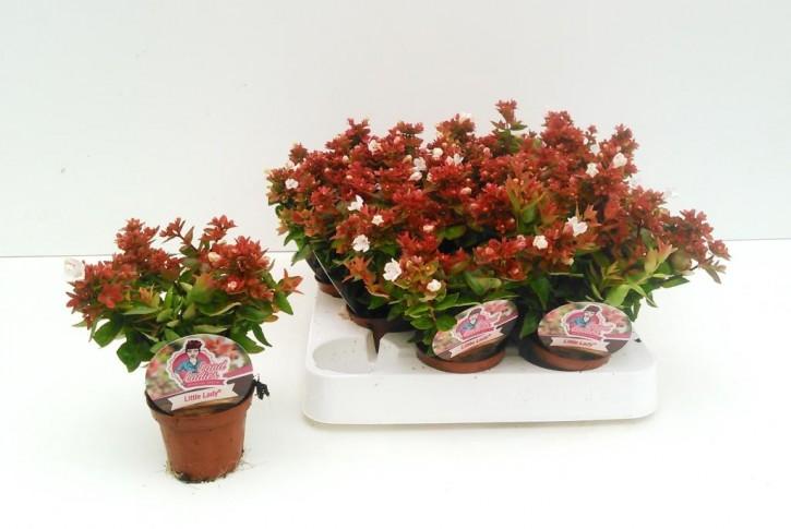 Abelia grandiflora 'Little Lady' T 6 MINI
