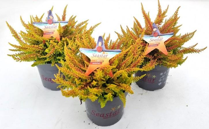 Calluna vulgaris 'Seastar' T 10,5