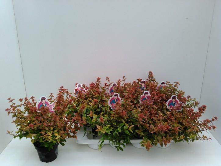 Abelia grandiflora 'Lady Summerdream' T 13