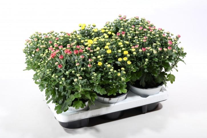 Dendranthema-Grandifl.-Hybr. T 13 GardenMums MIX