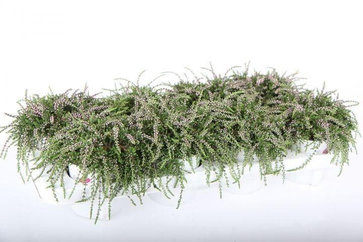 Calluna vulgaris RastaGirls® T 11 'Janina' rot