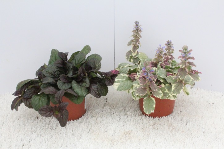 Ajuga reptans T 12 MIX • VE 8
