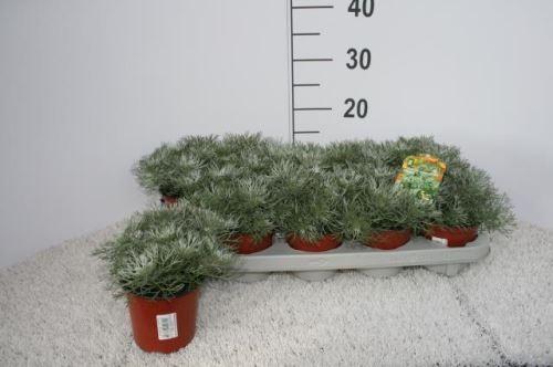 Artemisia schmidtiana 'Nana' T 11