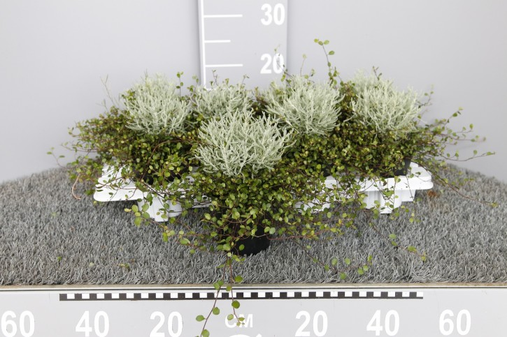 Santolina 'Fine Leaf' & Muehlenbeckia T 11