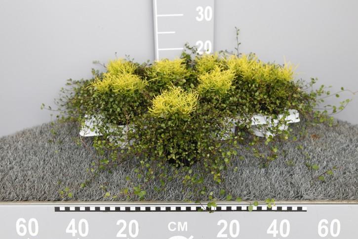 Santolina 'Lemon Fizz' & Muehlenbeckia T 11
