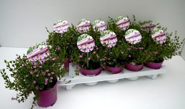 Boronia crenulata 'Pink Pearl' T 11