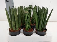 Sansevieria cylindrica T 12 MIX