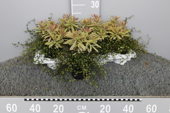 Euphorbia amygdaloides & Muehlenbeckia   T 11
