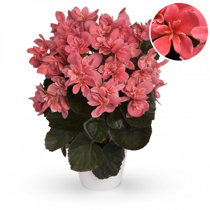 Begonia-Elatior-Hybriden T 12 'Ceveka'  (rosa)