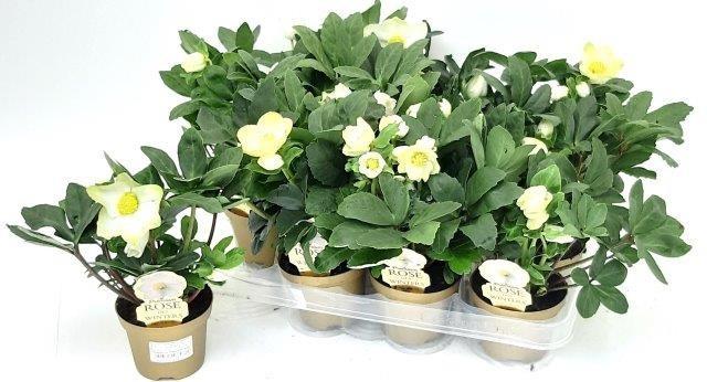 Helleborus niger 'Christmas Carol' T 9  Goldener Topf