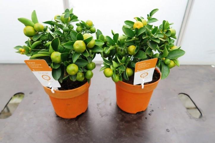 Citrus Busch T 14 MIX
