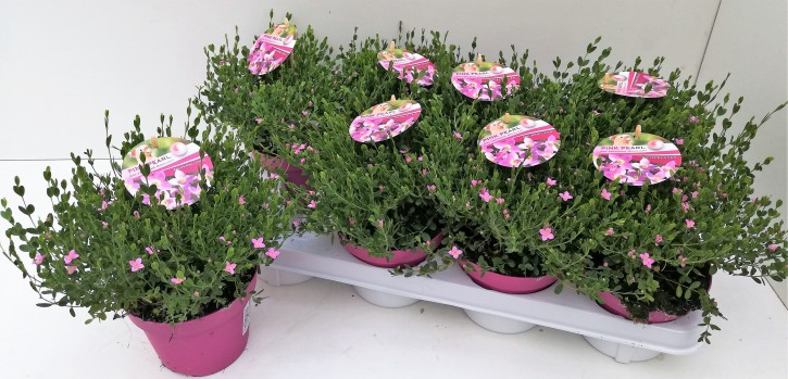 Boronia crenulata 'Pink Pearl' T 13