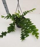 Epiphyllum chrysocardium 'Fishbone' T 21 Ampel