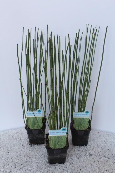 Equisetum hyemale T 9x9