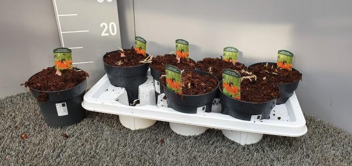 Fritillaria imperialis 'Orange Beauy' T 14