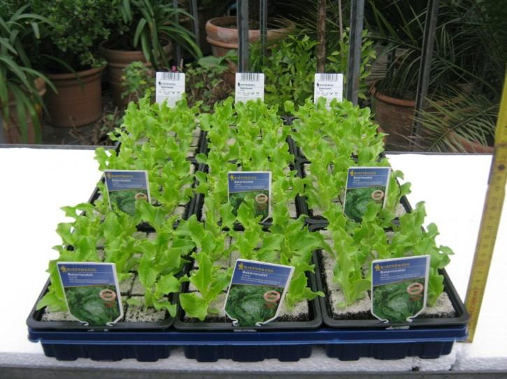Bataviasalat 'Leny' - GRÜN Jungpflanzen (12er Schale)