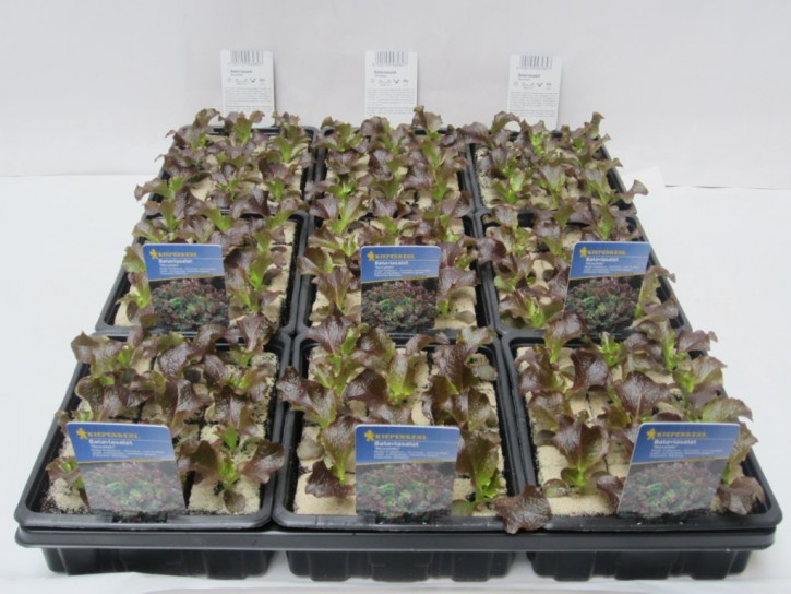 Bellagiosalat 'Robinio' - ROT Jungpflanzen (12er Schale)