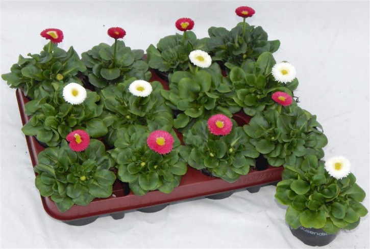 Bellis perennis T 9 MIX