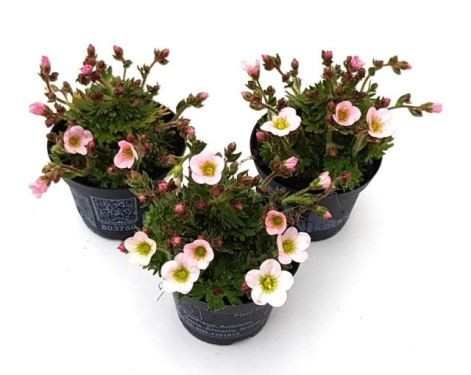 Saxifraga-Arendsii-Hybriden T 6,5 MINI (Rock Collection®)  WEISS