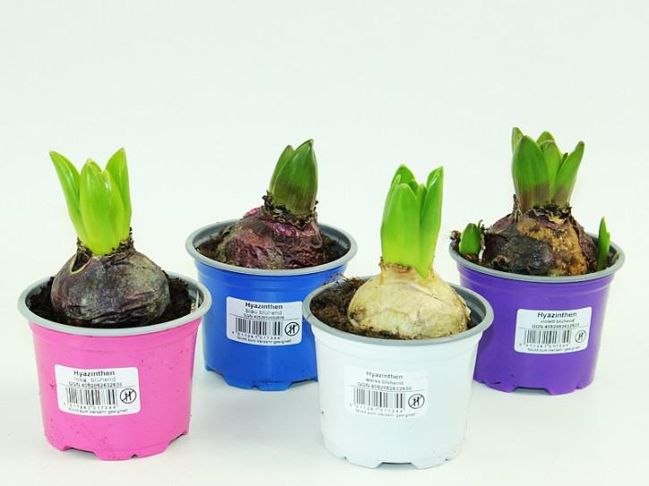 Hyacinthus orientalis T 9 (1ppp) MIX • VE 18