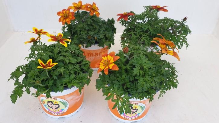 Bidens ferulifolia 'Taka Tuka'® T 12