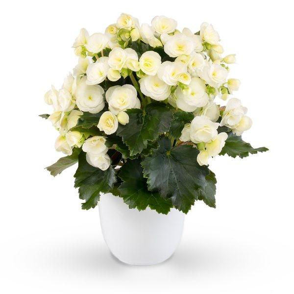 Begonia-Elatior-Hybriden T 11 'Sweeties White'