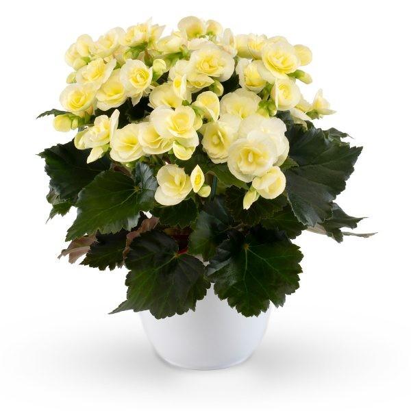 Begonia-Elatior-Hybriden T 11 'Sweeties Light Yellow'