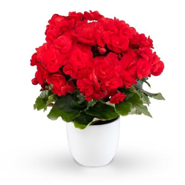 Begonia-Elatior-Hybriden T 11 'Sweeties Red'