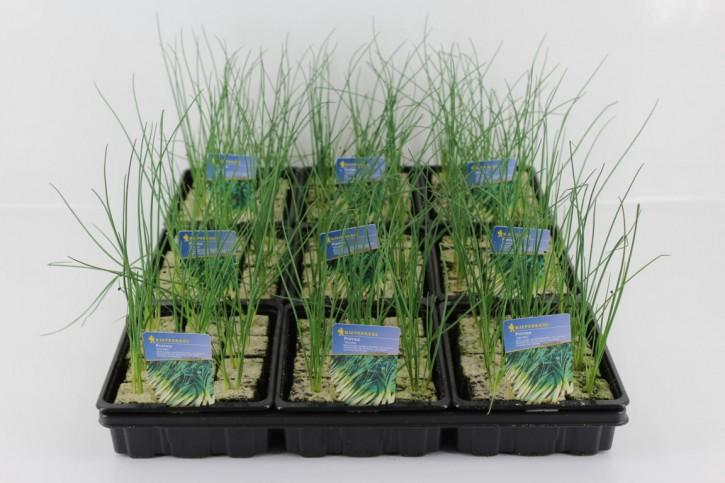 Porree Jungpflanzen 'Amundo' (12er Schale)
