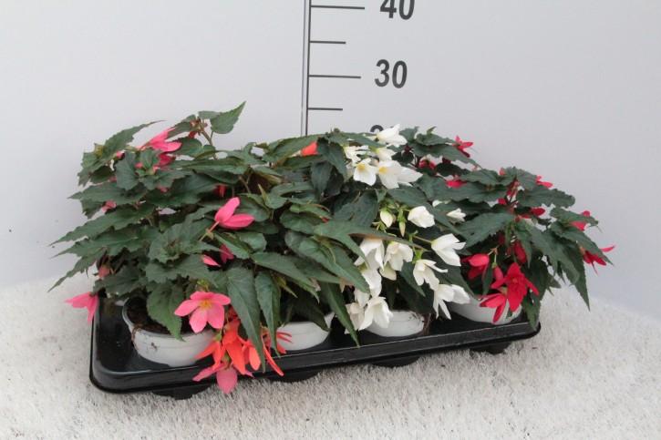 Begonia boliviensis  T 12  MIX