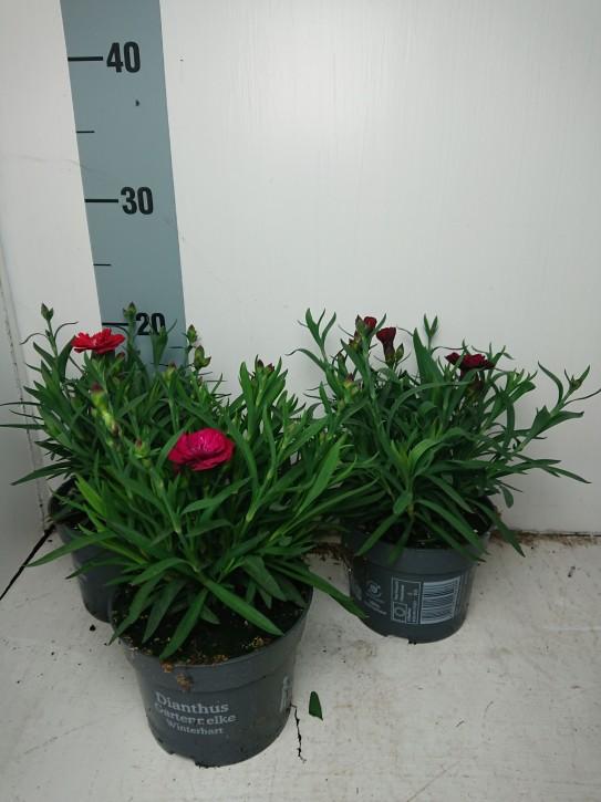 Dianthus caryophyllus 'Diantica' T 12 MIX