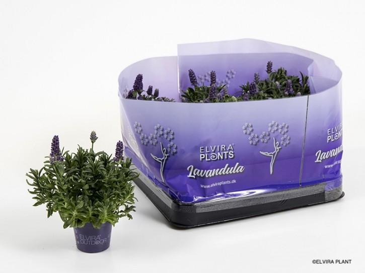Lavandula angustifolia 'Hidcote Blue' T 6 MINI