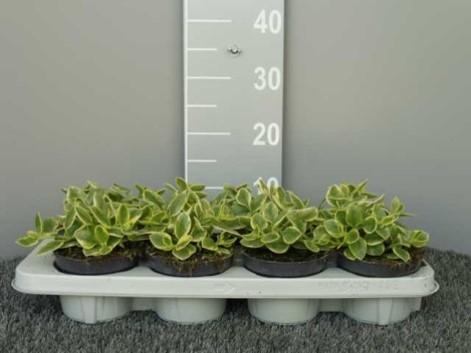 Aptenia cordifolia T 12