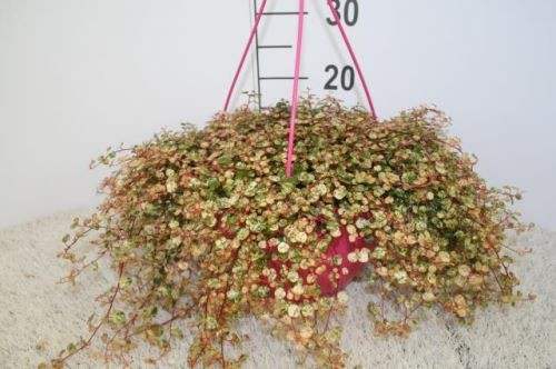 Muehlenbeckia complexa 'Pink Camouflage' T 25 Ampel