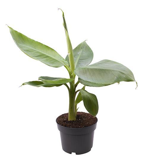 Musa acuminata T 10,5