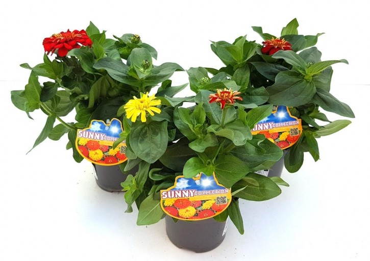 Zinnia marylandica T 13 MIX