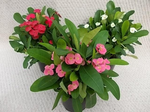 Euphorbia milii T 11 Mix