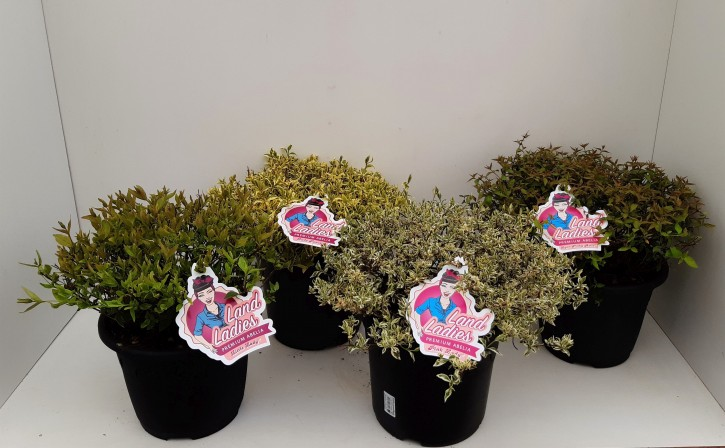 Abelia grandiflora LAND LADIES T 26 MIX