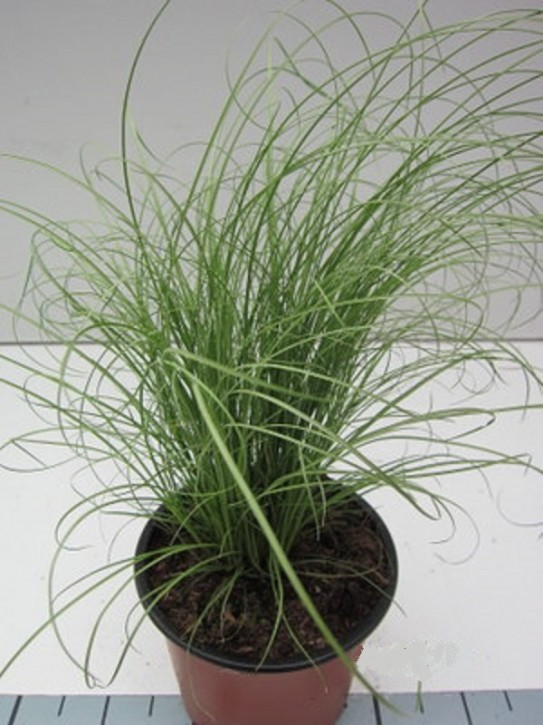 Carex comans 'Mint Curls' T 13
