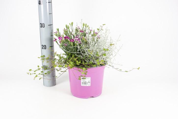 TRIO: Dianthus & Calocephalus & Muehlenbeckia T 19