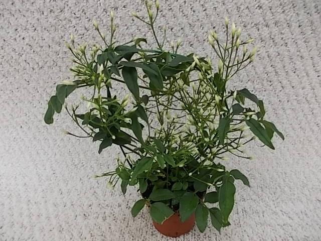Jasminum polyanthum T 6 Bogen MINI • VE 12