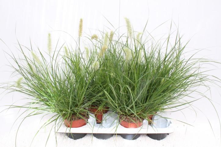 Pennisetum alopecuroides 'Little Bunny' T 13