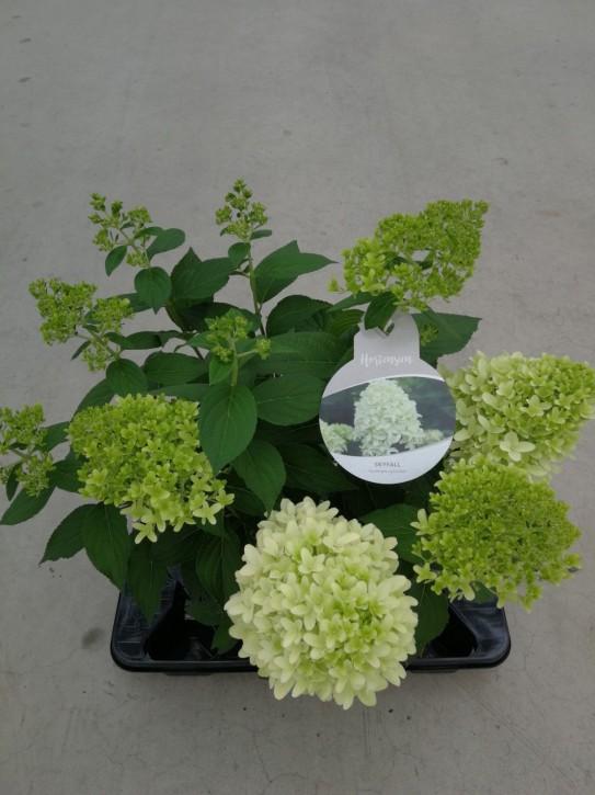 Hydrangea paniculata 'Skyfall' T 21