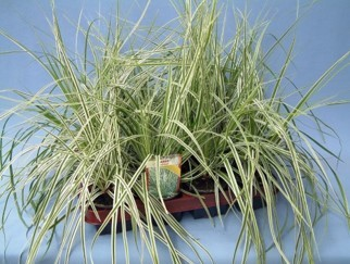 Carex brunnea 'Everest' T 9