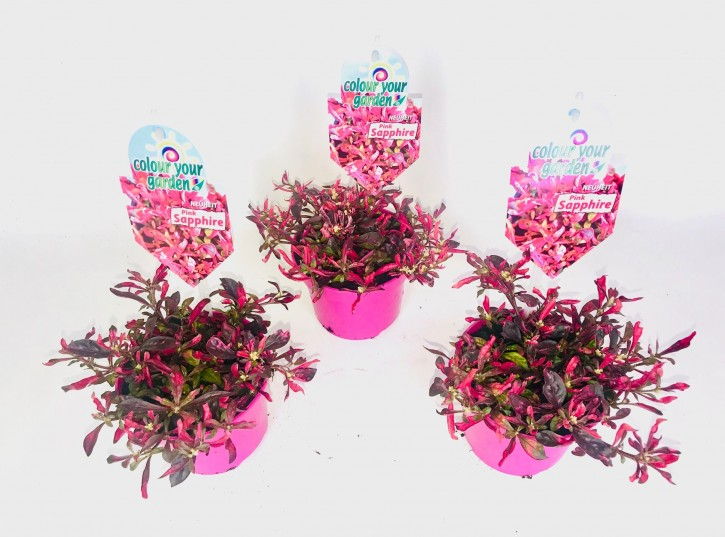 Alternanthera reineckii 'Pink Sapphire' T 13