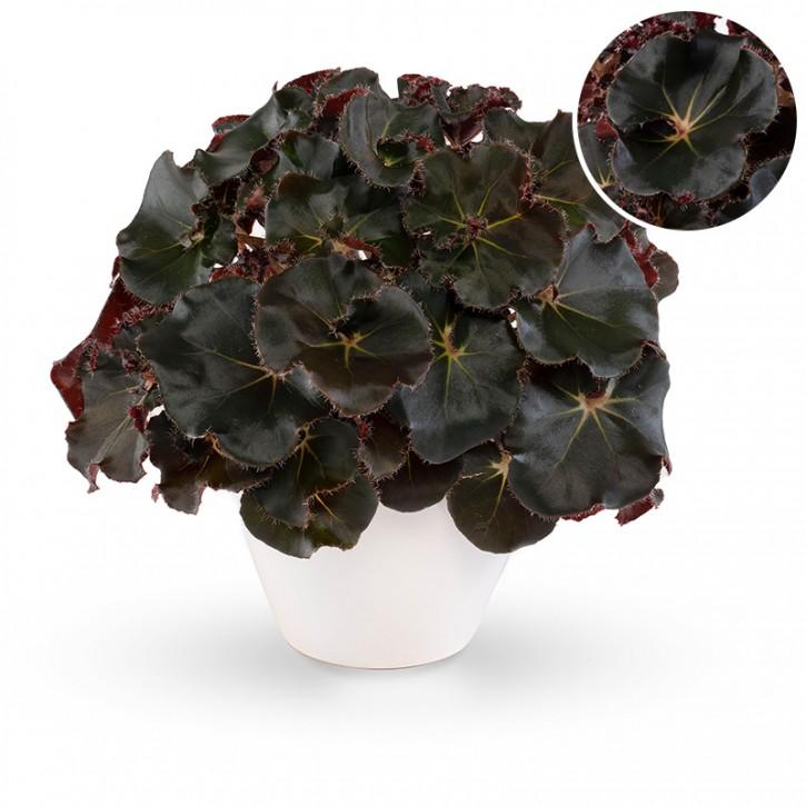 Begonia-Rex-Hybriden BELEAF 'Jungle Black' T 13