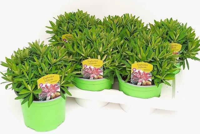 Euphorbia amygdaloides 'Athene' T 17