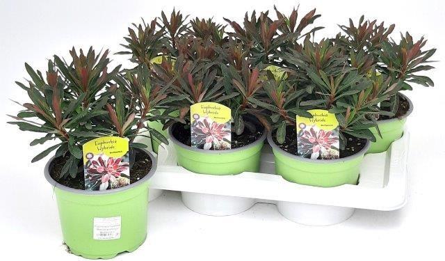 Euphorbia amygdaloides 'Purpurea' T 17