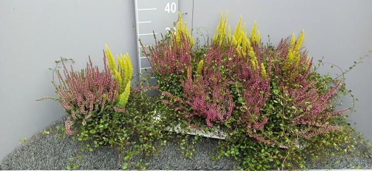 Muehlenbeckia & Calluna & Arborea T 13 TRIO